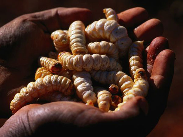 Witchetty grub ididj australia for Aboriginal cuisine